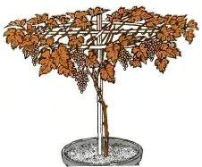 виноград в гршке вырастить