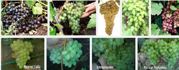 для москвы и подмосковья сорта винограда с фото
